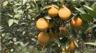 4 loại cam nổi tiếng xứ Nghệ