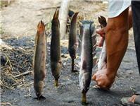 Về miền Tây ăn cá lóc nướng trui