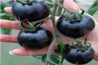 Khám phá công dụng chống ung thư của cà chua đen