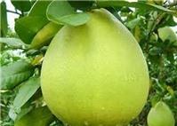 Bài thuốc làm đẹp từ quả bưởi