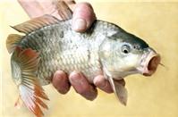 Cách làm lẩu cá chép om dưa đơn giản nhưng ngon miệng