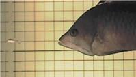 Đây chính là loài cá có cái miệng xấu nhất quả đất