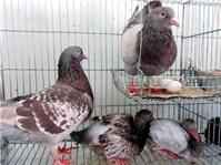 Cách làm chuồng nuôi chim bồ câu sinh sản dạng quần thể
