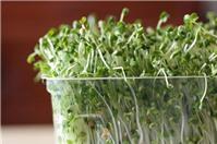 Tự làm các loại rau mầm tiết kiệm và an toàn