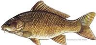 Cá chép - thức ăn lý tưởng cho phụ nữ có thai