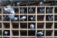 Nuôi chim bồ câu thả rông năng suất cao