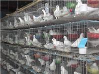 Hướng dẫn cách làm chuồng nuôi chim Bồ Câu
