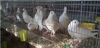 Làm chuồng nuôi chim bồ câu